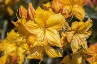 Rhododendron Klondyke cultiva...