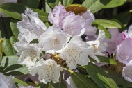 Rhododendron degronianum subs...