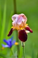 Iris (Iridaceae), flowering b...