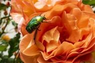 Rose beetle (Cetoniinae) on a...