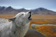 Close-up of white wolf howlin...