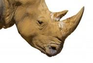 African white rhino / Square-...