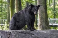American black bear (Ursus am...