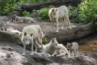 Hudson Bay wolf pack (Canis l...