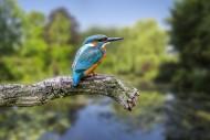 Common kingfisher (Alcedo att...
