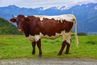 Cow of the Pinzgauer breed on...
