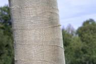 Exposed beech tree (Fagus syl...