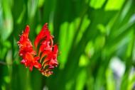 Blossom of a montbretia (Croc...