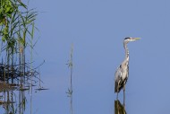 Grey heron (Ardea cinerea) st...