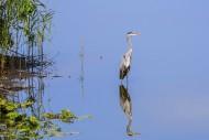 Reflection of grey heron (Ard...