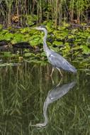 Grey heron (Ardea cinerea) fi...