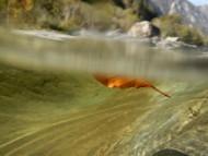 Red Leaf Floating Underwater.
