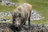 Wild boar (Sus scrofa) juveni...
