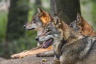Three European gray wolves / ...