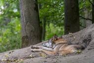 European gray wolf / wild gre...