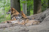 Two European gray wolves / wi...