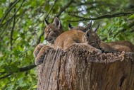 Three young Eurasian lynxes (...