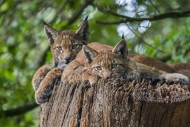 Two young Eurasian lynxes (Ly...