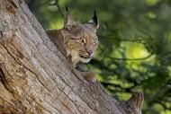 Eurasian lynx (Lynx lynx) res...