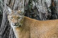 Eurasian lynx (Lynx lynx) clo...