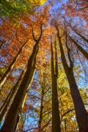 Treetops of beeches on a sunn...