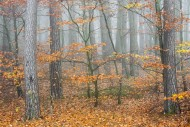 Tree trunks of beech trees an...