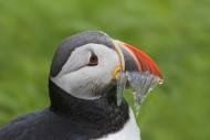 Atlantic puffin (Fratercula a...