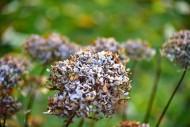 Blossom of a hydrangea (hydra...