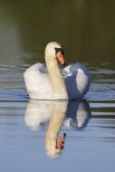 Territorial mute swan (Cygnus...