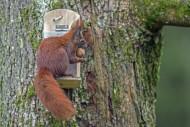 Eurasian red squirrel (Sciuru...