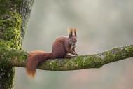 Cute Eurasian red squirrel (S...