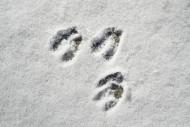 Close-up of footprints / hoof...