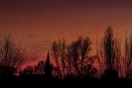 Silhouette of European starli...