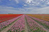 Rows of red, pink and orange ...