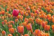 Single tall red tulip among o...