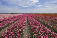 Rows of pink and red tulips i...
