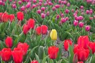 Single yellow tulip among red...