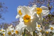 Narcissus Geranium flowers bl...
