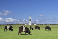 Belted Galloways and the Kamp...
