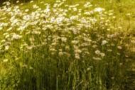 Daisies (Leucanthemum) in a m...