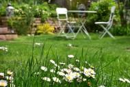 Daisies (Bellis perennis) in ...