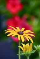 The yellow coneflower (Echina...