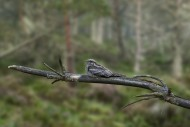 European nightjar / Eurasian ...