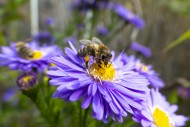 Blossom of an aster (Asterace...