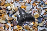 Eocene shark\'s tooth fossil ...