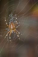 European garden spider / diad...