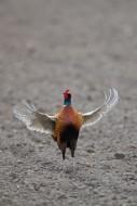 Common pheasant / Ring-necked...